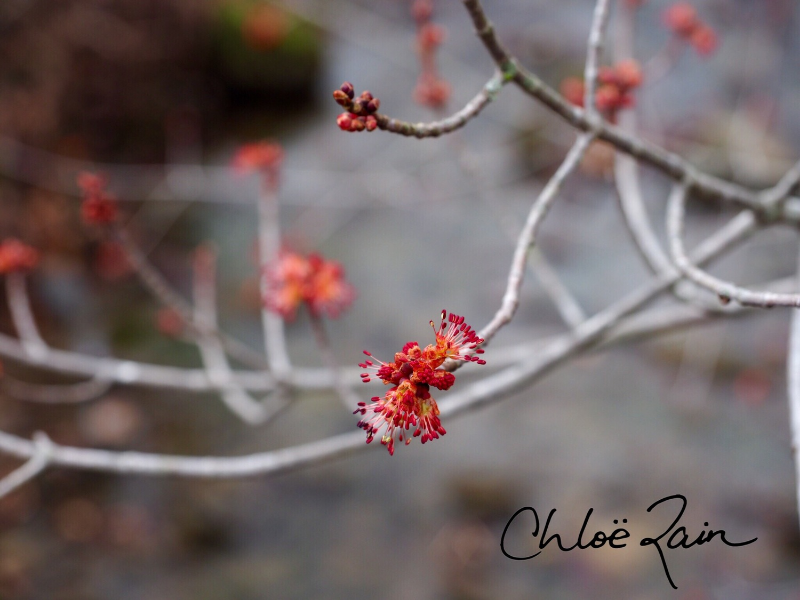 "These pictures were taken of the red maple trees blossoming over the flowing stream by my house. I had never noticed the red maple tree ""blossoms"" and their exoticness before this spring."