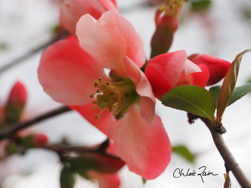 """""""I want to do to you what Spring does to cherry trees.""""— PABLO NERUDA                                                           Taken today in my yard,April 17th, 2015"""
