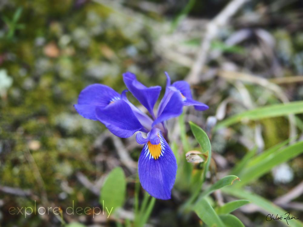 Wild purple Iris.