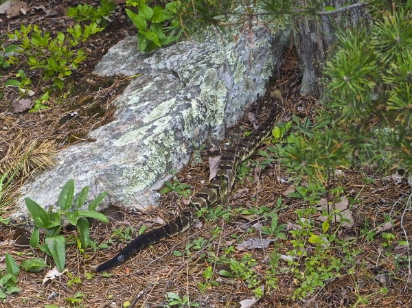 "The Rattlesnake that shook its rattles as it crossed our path, I was slow at getting my camera out as I recovered from the shock of hearing those warning rattles, and it was moving pretty fast!  Snake is a symbol of rebirth and transformation, as a positive symbol, snakes represent healing, knowledge, and the tranformational experience of shedding of one's skin ""casting off the old self""."