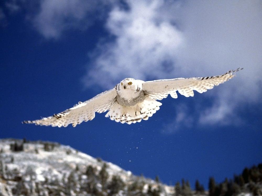 大空を駆け巡るシロフクロウ