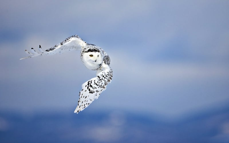 live-your-purpose/appearance-of-the-great-white-snowy-owl-and-its-spiritual-significance