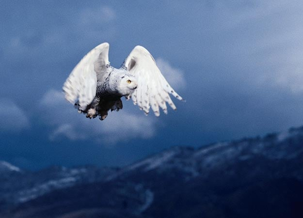 exploredeeply.com/live-your-purpose/appearance-of-the-great-white-snowy-owl-and-its-spiritual-significance