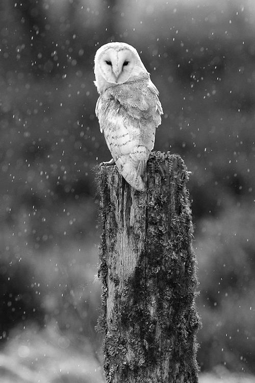 Snowy Owl Spiritual Significance
