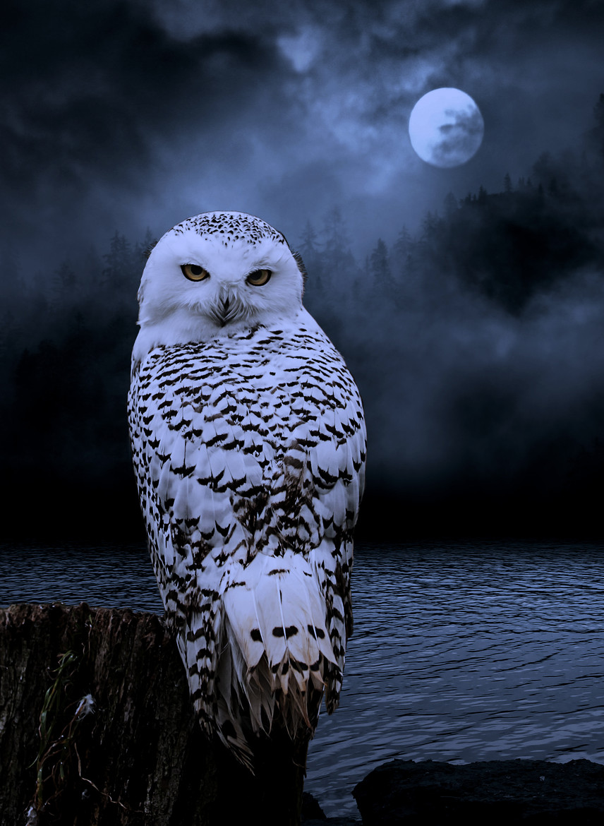 Snowy Owl Spiritual Significance March Eclipse Full Moon Astrological Meanings