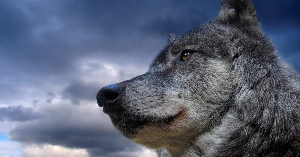 Wolf Medicine : Learn the Wisdom of the Medicine Wheel
