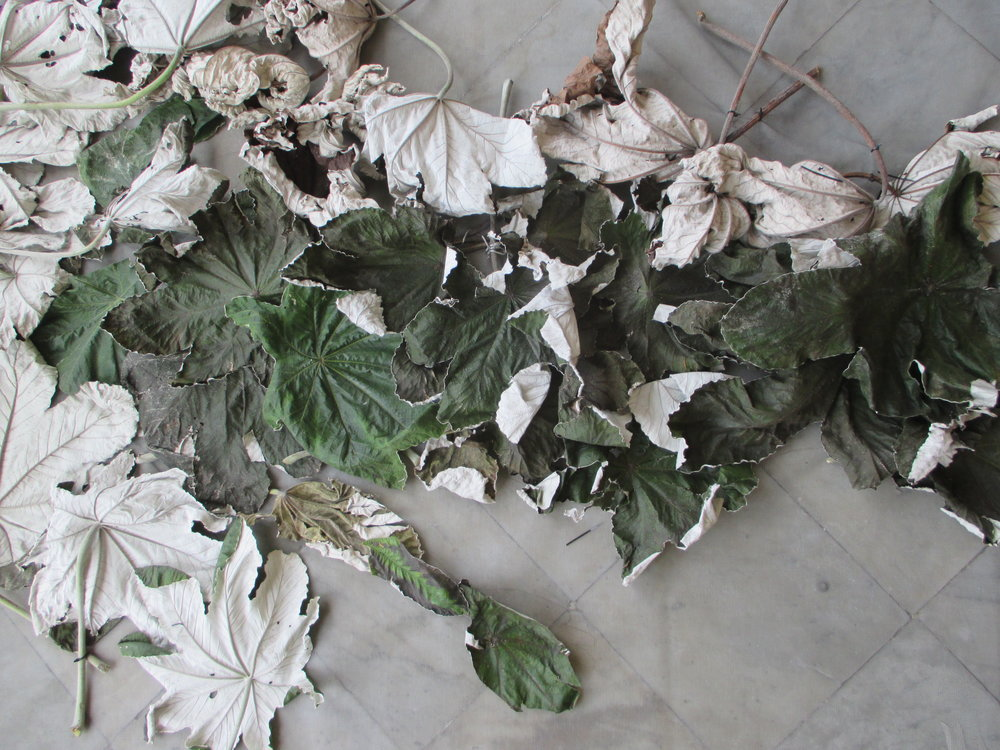 Yagruma Silueta. Mayo 2015.JPG