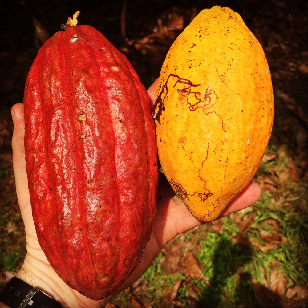 Cocoa varieties.. as chalk and cheese as Shiraz and Cabernet!