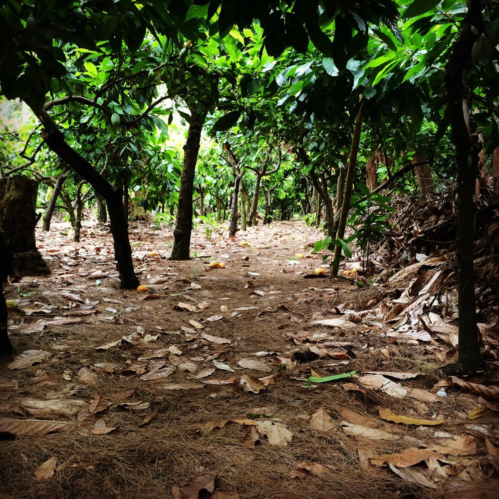 Malekula cocoa plantation.. kinda like walking through a tropical vineyard..