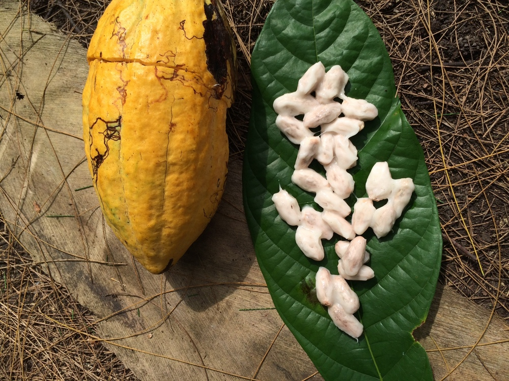 Cocoa beans fresh out of the pod
