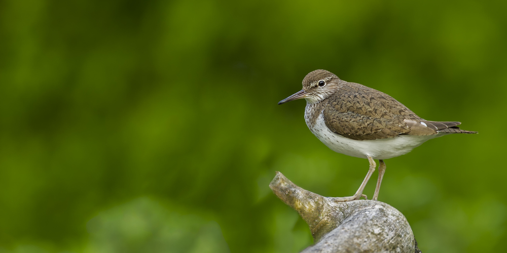 Common Sandpiper.jpg