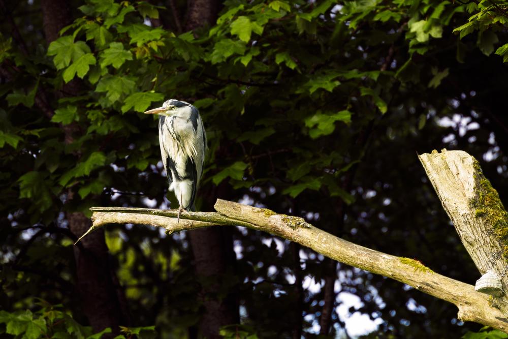 Heron - Tree.jpg