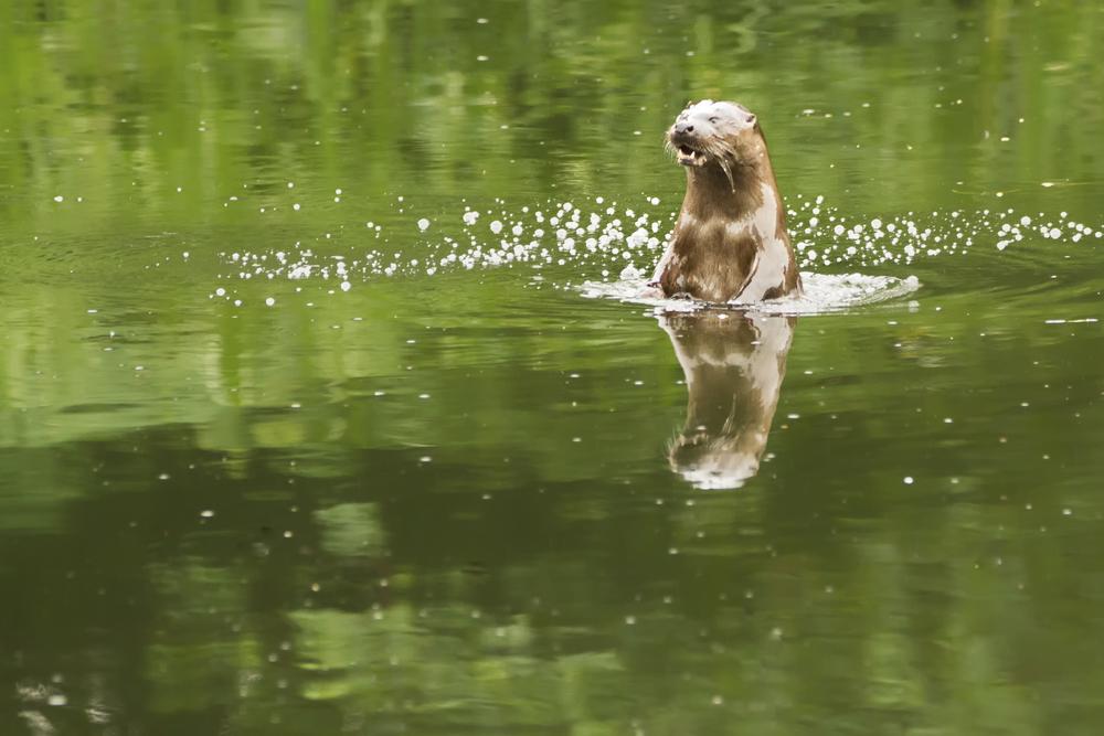 Otter - River.jpg