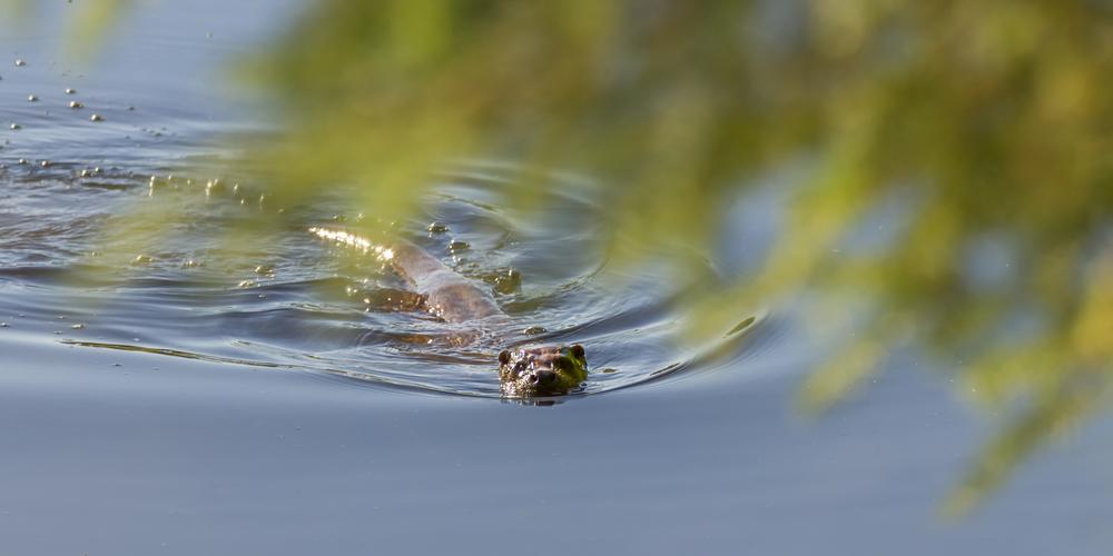 Otter - Swim.jpg