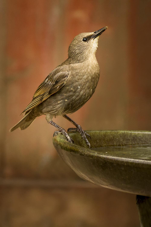 Starling Bath.jpg