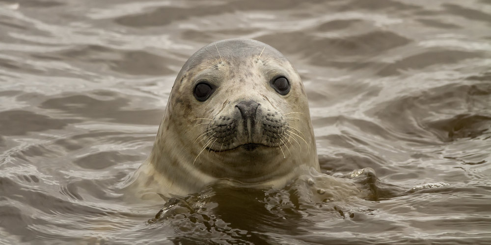 Stephen_Crossan_Grey_Seal_1.jpg