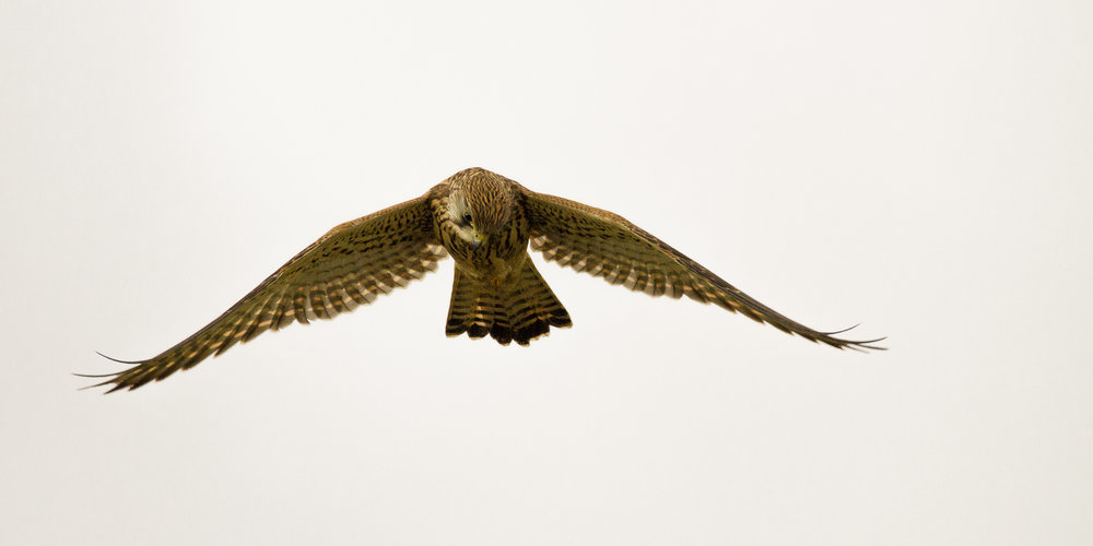 Stephen_Crossan_Female_Kestrel_1.jpg