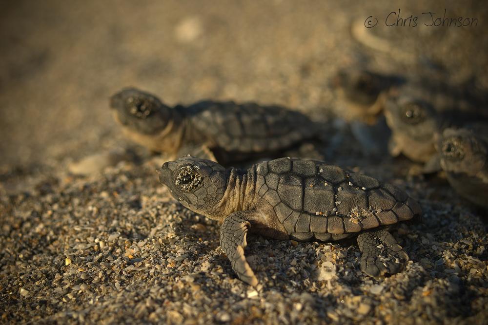 Loggerhead hatchlings