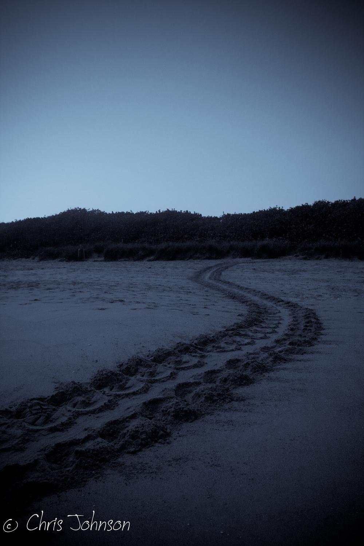 Loggerhead sea turtle track
