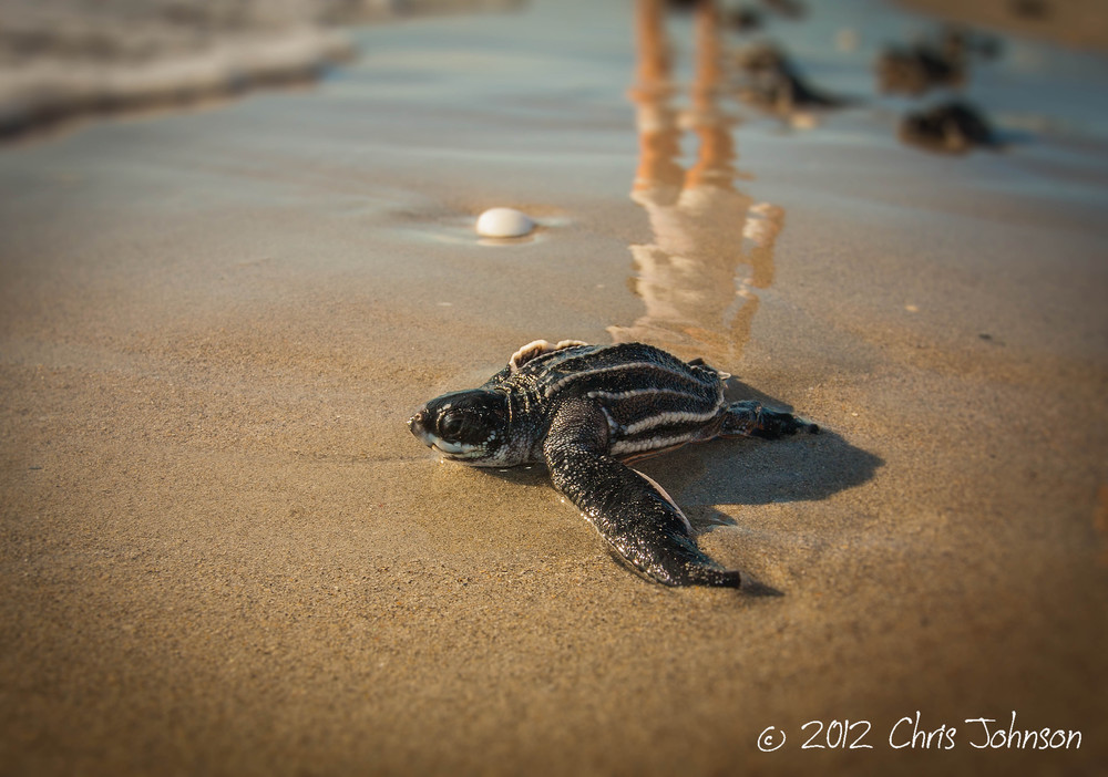 Leatherback sea turtle hatchling