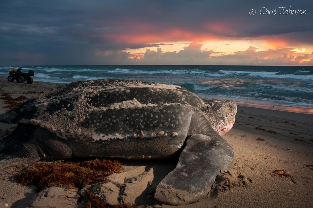 Leatherback at sunrise