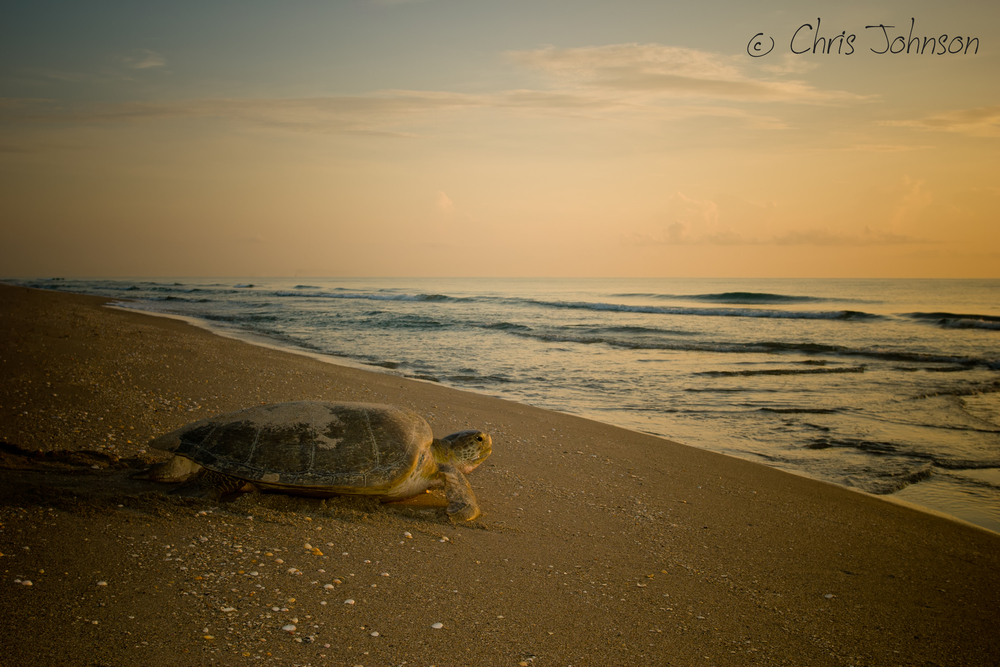Green sea turtle at sunrise