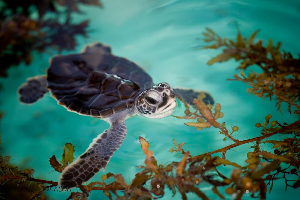 Green sea turtle hatchling (Chelonia mydas)