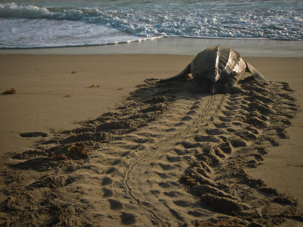 Leatherback with track