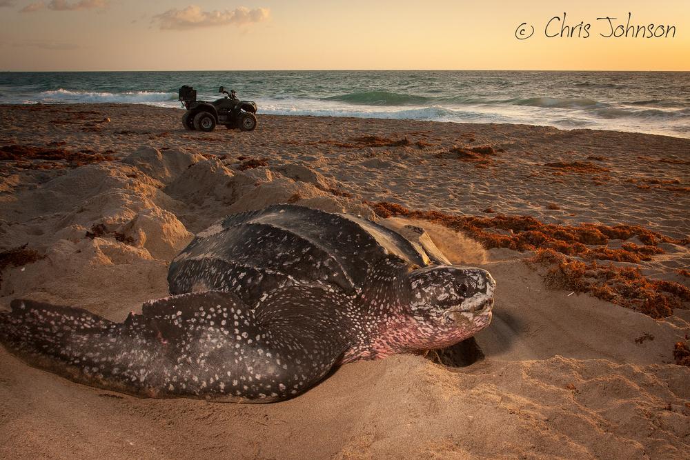 Leatherback sea turtle at sunrise
