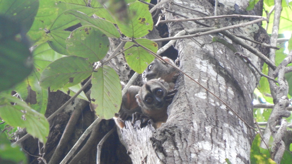 We saw owl monkeys during one of our hikes