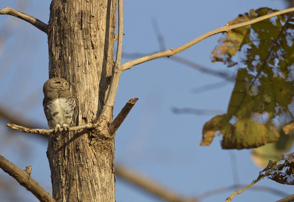 Forest Owlet, Melghat, Maharashtra, Mar 2012