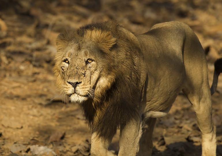 Asiatic Lion, Gujarat, Feb 2011