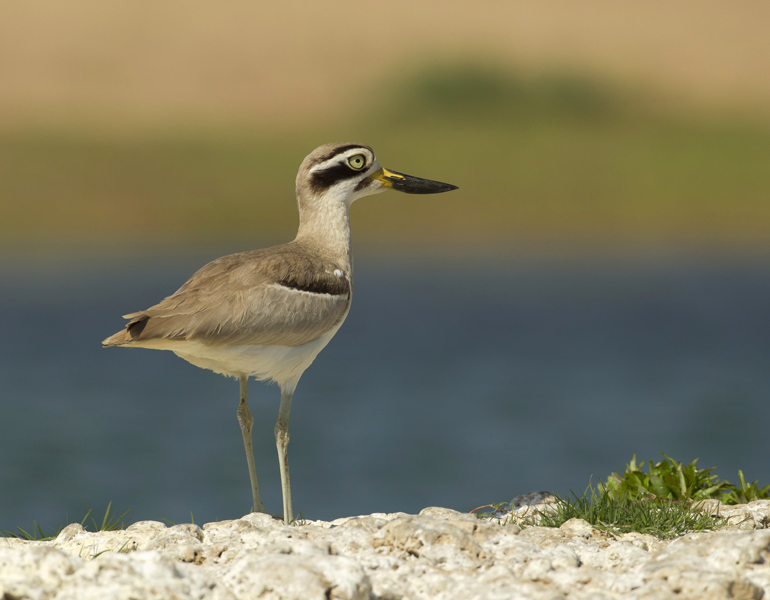 Great Thick-knee, Chambal River, Feb 2012
