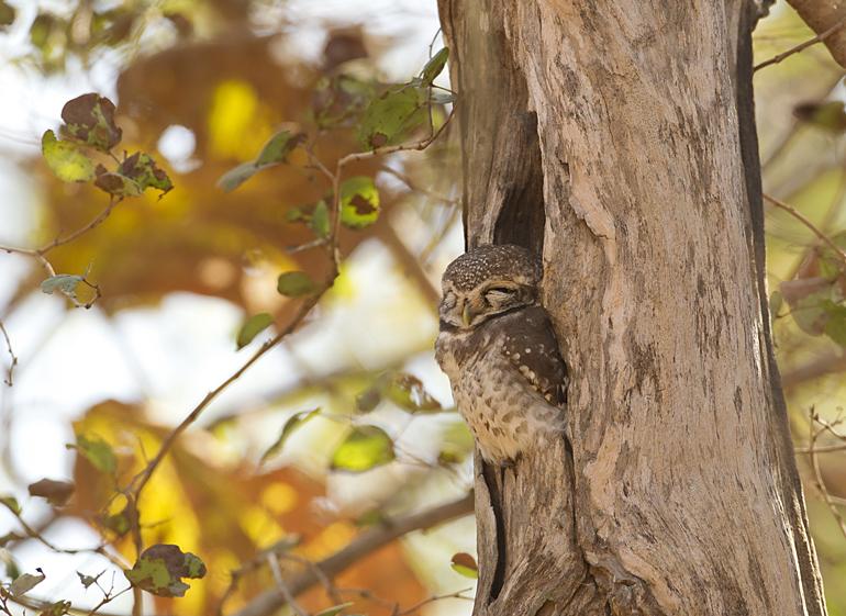 Spotted Owlet, Gujarat, Feb 2011