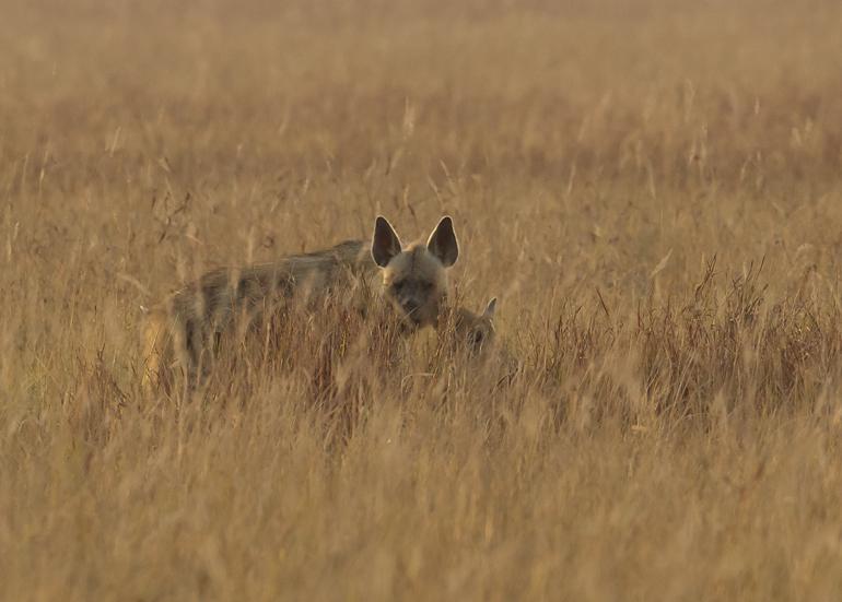Striped Hyena, Blackbuck NP, Feb 2011