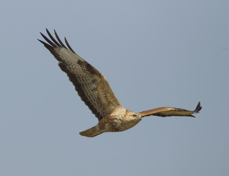 Long-legged Buzzard, Chambal River, Feb 2011