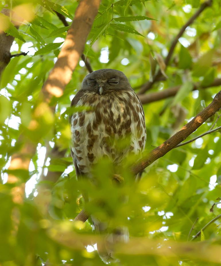 Brown Hawk Owl, Chambal Safari Lodge, Feb 2011