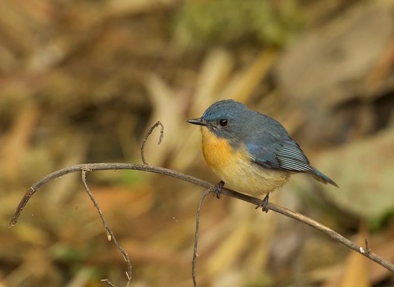 Tickell's Blue Flycatcher, Bandhavgarh, Feb 2011