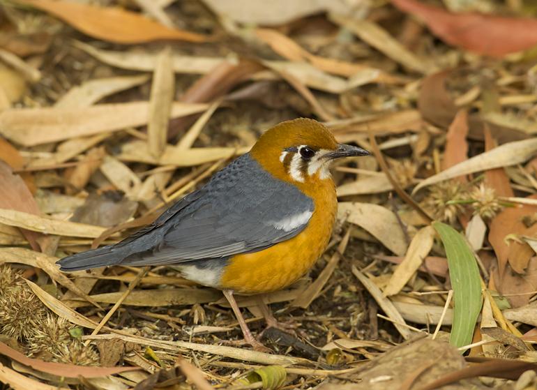 Orange-headed Ground Thrush, Bhandhavgarh, Feb 2011