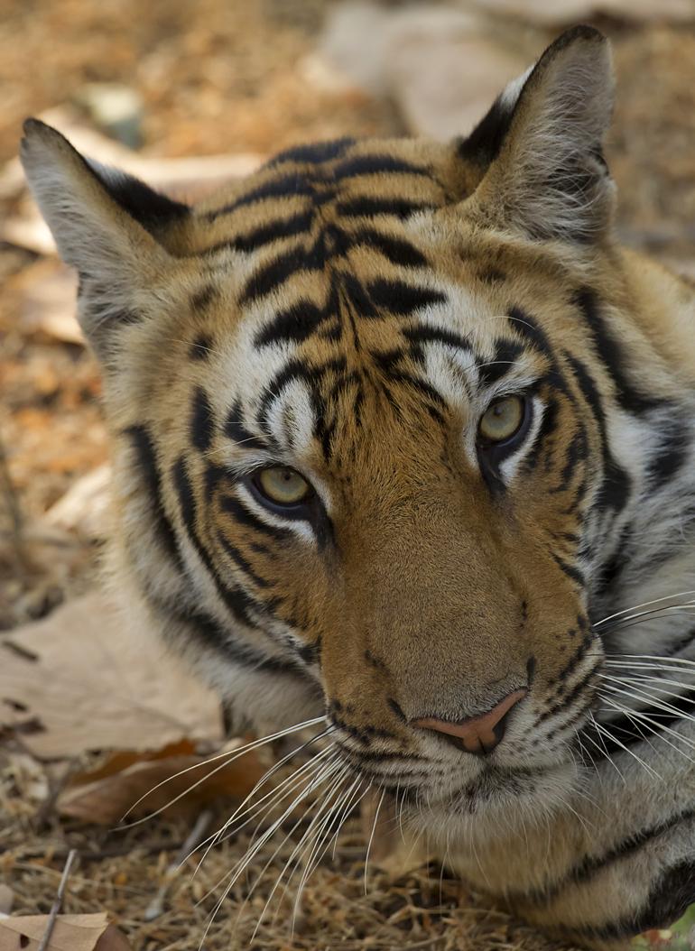 Bengal Tiger, Bandhavgarh, Feb 2011