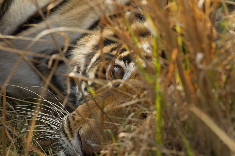 Bengal Tiger, Kanha NP, Feb 2011