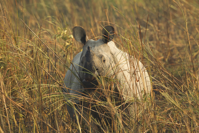 Indian One-horned Rhino, Kaziranga NP, Feb 2012