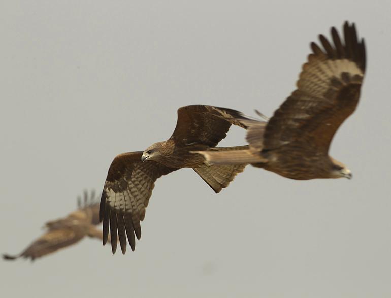 Black Kites, Baragaon, Assam, Feb 2012
