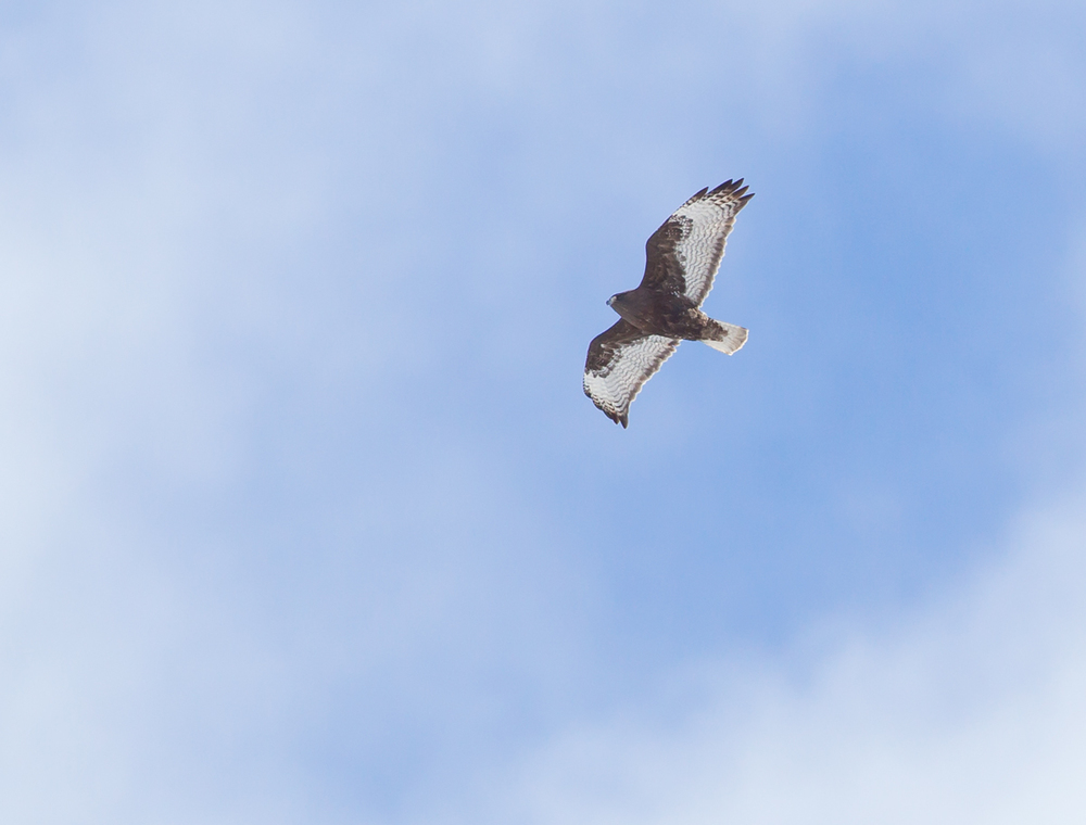 Harlan's Hawk, Silverthorne CO April 2013