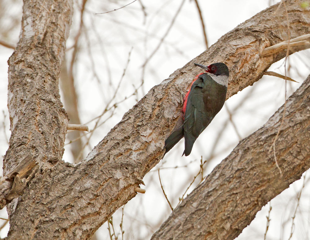 Lewis's Woodpecker, Rocky Ford CO April 2013