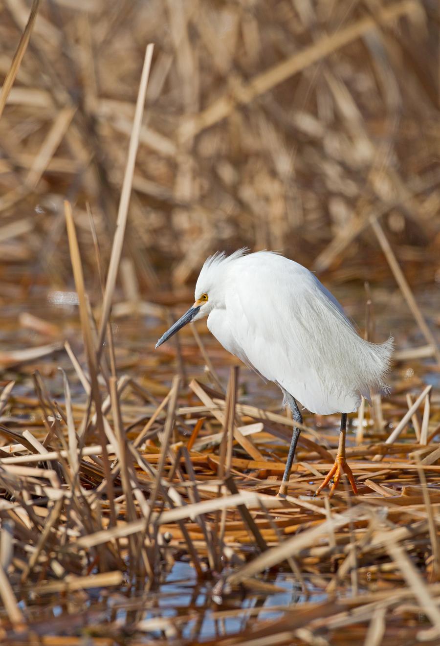 Snowy Egret, Pueblo West CO April 2013