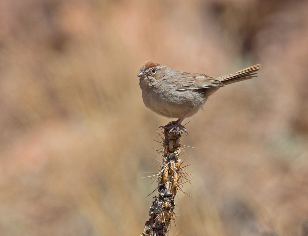 Rufous-crowned Sparrow, Cañon City CO April 2013