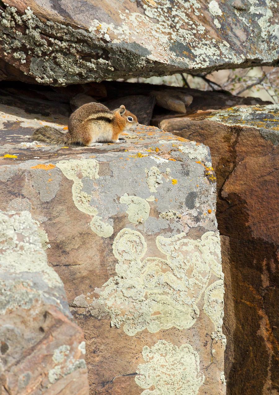 Golden-mantled Ground Squirrel, CO April 2013