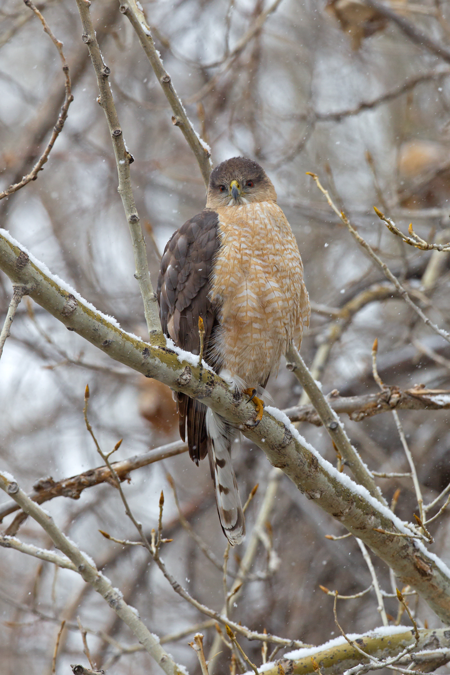 Cooper's Hawk, Chatfield State Park CO April 2013