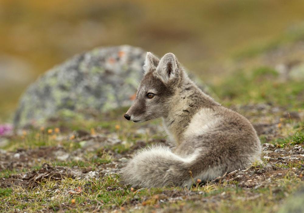 Arctic Fox, Ossian Sarsfjellet, July 2012